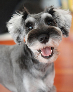 Image result for Schnauzer 犬 あくび